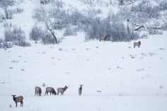 Group of Elk on the Refuge